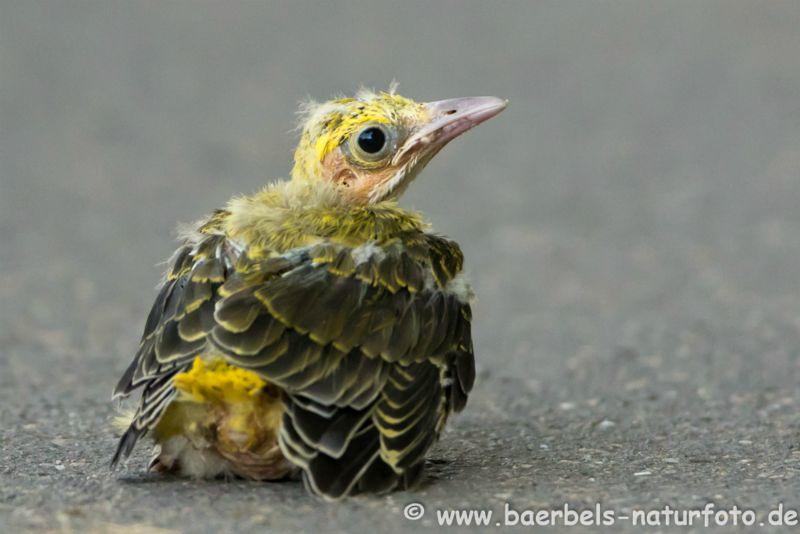 Pirol aus dem Nest gefallen